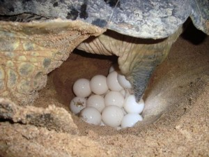 Een zeeschildpad tijdens het leggen van eieren