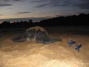 Zeeschildpad op het strand van Braamspunt